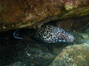 Spotted moray eel at Wallilabou